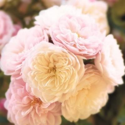 Роза плетистая Старлет Роуз Алина C4
