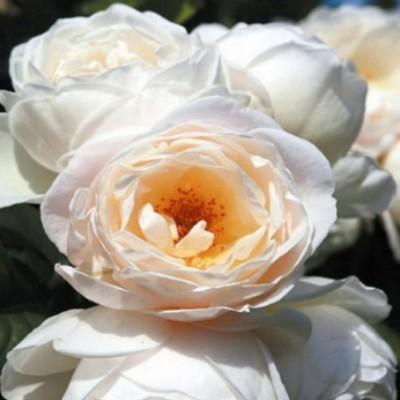 Роза плетистая Ютерсенер Клостеррозе C4 ПРЕДЗАКАЗ