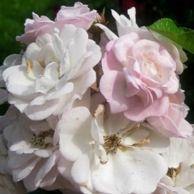 Роза плетистая Перенниал Блаш C4