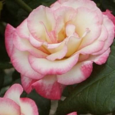 Роза плетистая Хендель C4