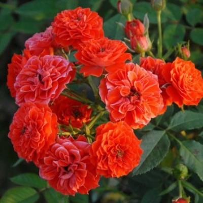 Роза плетистая Гримпант Оранж Мейландина C4