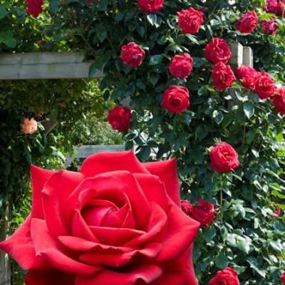 Роза плетистая Гримпант Кримсон Глори C4