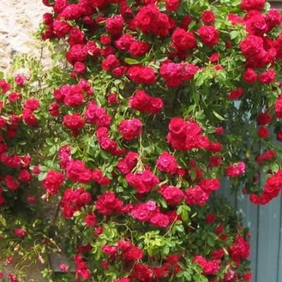 Роза плетистая Гримпант Кассандра C4