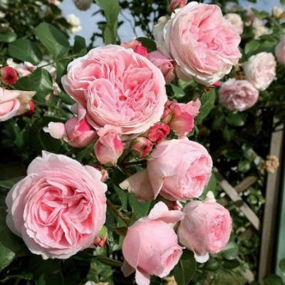 Роза плетистая Джардина C4