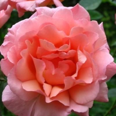 Роза плетистая Компассион C4 ПРЕДЗАКАЗ