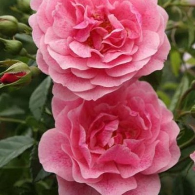 Роза плетистая Камелот C4