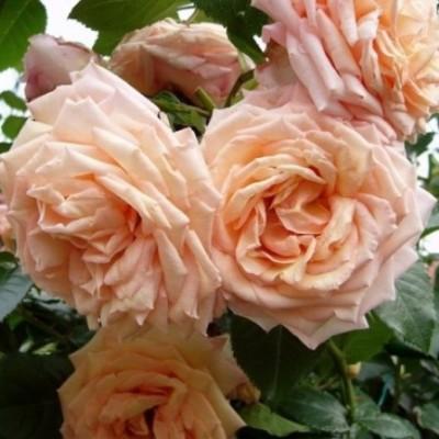 Роза плетистая Барок C4