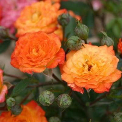 Роза миниатюрная Санмейд C4