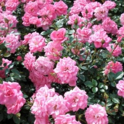 Роза миниатюрная Шуга Бэйби C4