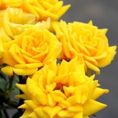 Роза миниатюрная Зонненкинд C4