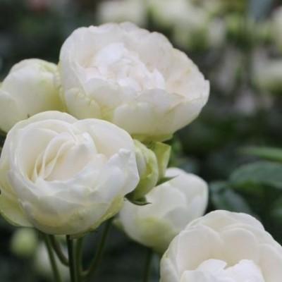 Роза миниатюрная Снипринцесс C4