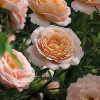 Роза миниатюрная Пич Клементина C4