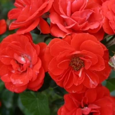 Роза миниатюрная Оранж Мейландина C4