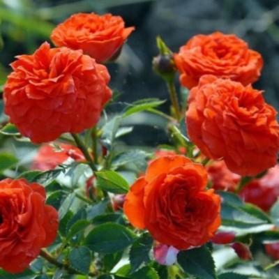 Роза миниатюрная Оранж Бэбифлор C4