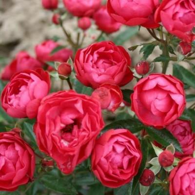 Роза миниатюрная Муттертаг C4