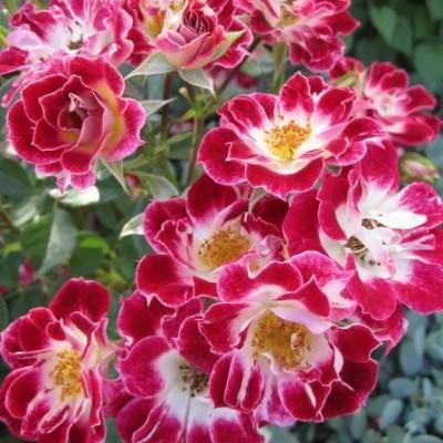 Роза миниатюрная Литл Артист C4