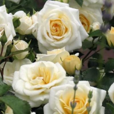 Роза миниатюрная Ханимилк C4