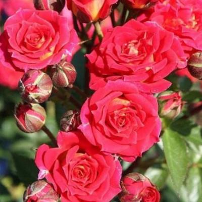 Роза миниатюрная Чили Клементина C4