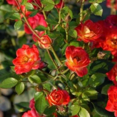 Роза миниатюрная Ча Ча C4