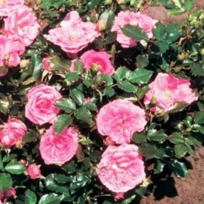 Роза миниатюрная Бубикопф C4