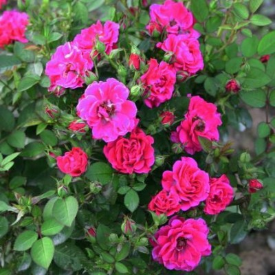 Роза миниатюрная Блюнетт C4