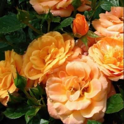 Роза миниатюрная Эприкот Клементина C4