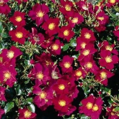 Роза почвопокровная Перпл Хейз C4