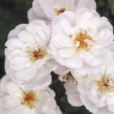 Роза почвопокровная Биненвайде Вайс C4