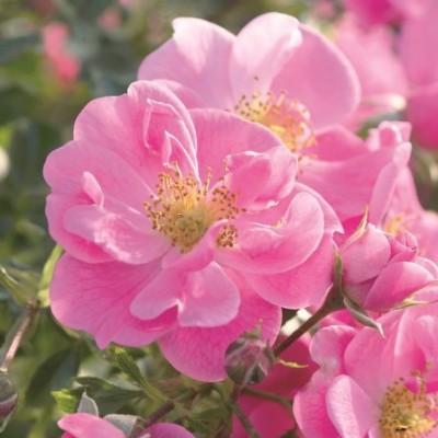 Роза почвопокровная Биненвайде Роза C4