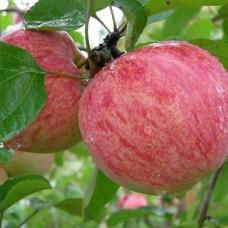 Яблоня (Malus Коричное полосатое autumn BR 1-но летнее) ОКС