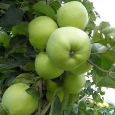 Яблоня (Malus Антоновка обыкновенная) C6
