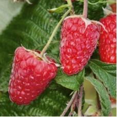 Малина ремонтантная (Rubus everbearing Брянское диво BR) C2