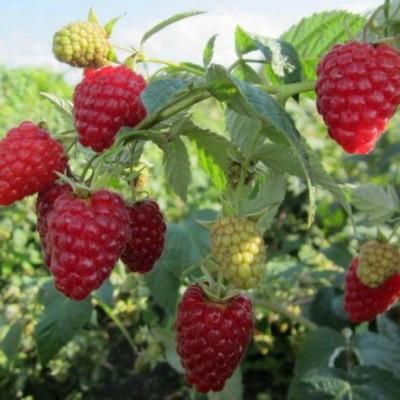 Малина ремонтантная (Rubus everbearing Жар-птица BR) ОКС