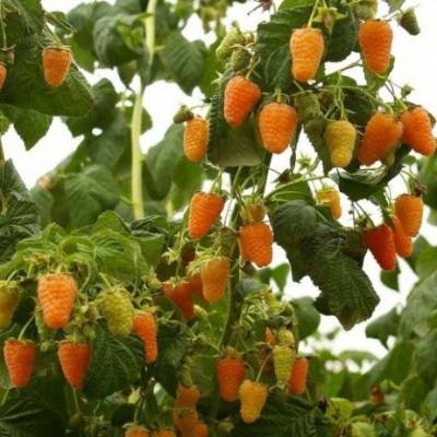 Малина ремонтантная (Rubus everbearing Оранжевое чудо BR) C2