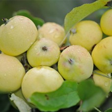 Яблоня (Malus Китайка золотая ранняя summer BR 1-но летнее) ОКС
