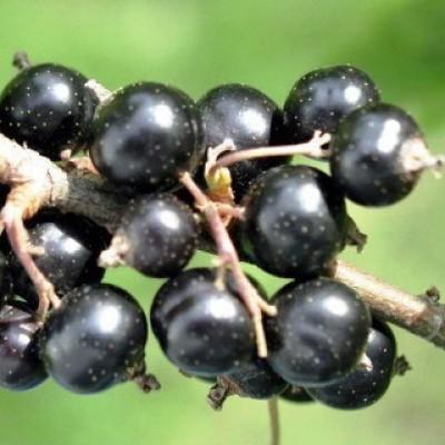 Смородина черная (Ribes nigrum Нара BR 1-но летнее) ОКС