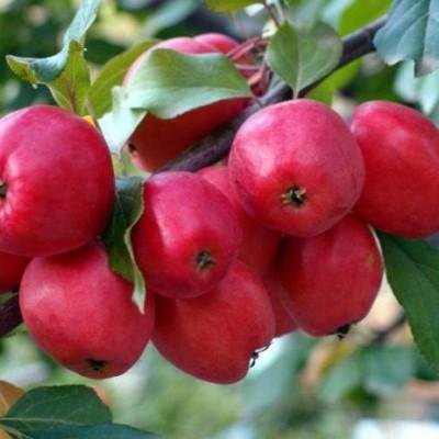 Яблоня (Malus Китайка Керрио autumn ) C6