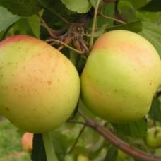 Яблоня (Malus Банановое winter BR 1-но летнее) ОКС