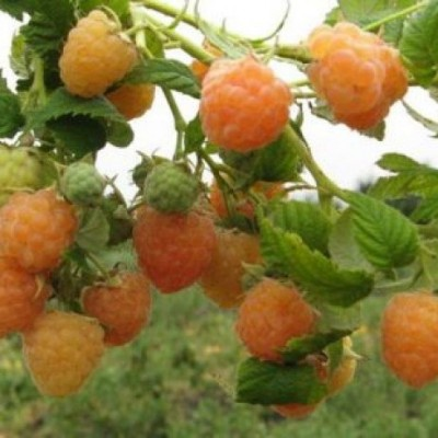 Малина ремонтантная (Rubus everbearing Золотые купола BR) ОКС