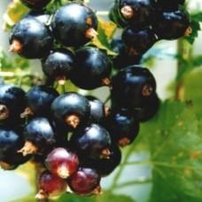 Смородина черная (Ribes nigrum Дар Смольяниновым BR 1-но летнее) ОКС