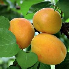 Абрикос (Prunus Жигулевский сувенир) C6