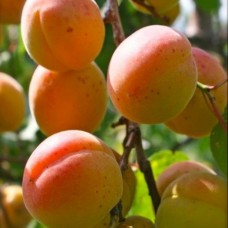 Абрикос (Prunus Триумф Севера BR) C6