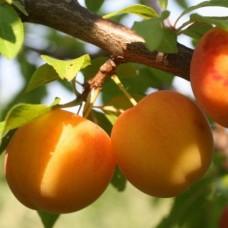 Алыча / Русская слива (Prunus Злата скифов BR) C6