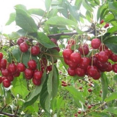 Вишня (Prunus Десертная Морозовой) C6