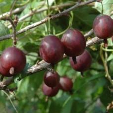 Крыжовник обыкновенный (Ribes uva-crisра Олави BR) C2