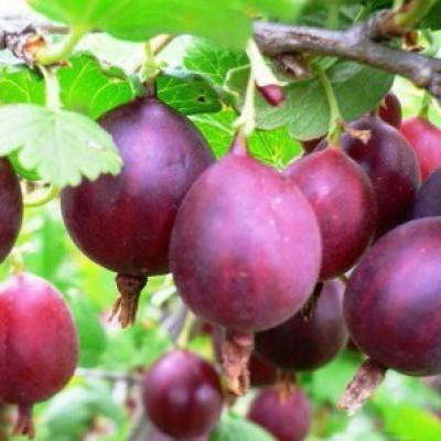 Крыжовник обыкновенный (Ribes uva-crisра Консул BR) C2
