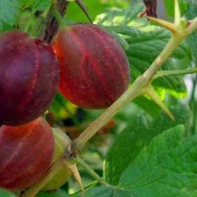 Крыжовник обыкновенный (Ribes uva-crisра Русский ранний BR) C2