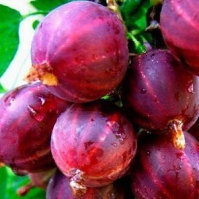 Крыжовник обыкновенный (Ribes uva-crisра Колобок BR) C2