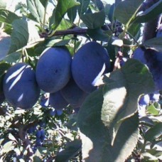 Слива (Prunus Стенлей BR) C6