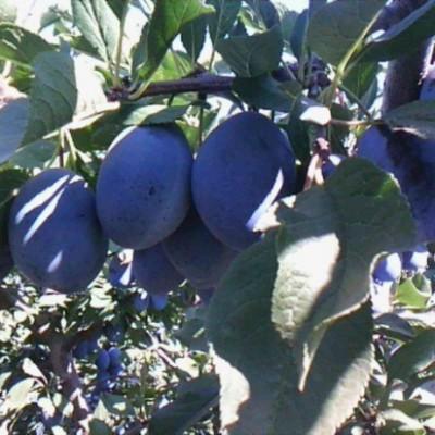 Слива (Prunus Стенлей BR) ОКС